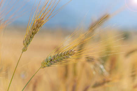 natural and adult wheat ears and agricultural production