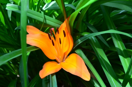 Bright and Orange Lily Flower Imagens