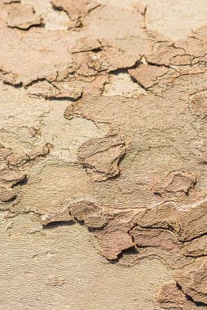 Platanus tree, fragment of bark, close-up photo.