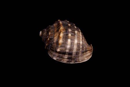 cone shell: Studio shot of a Mediterranean sea shell
