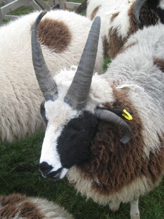 this picture of sheep with 4 horns was taken on a farmers show in Northumberland, England photo