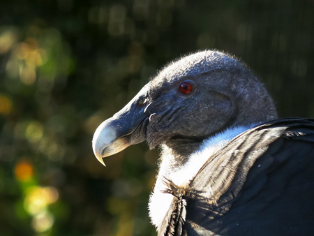 close up of the head of an andean condor from south america 版權商用圖片