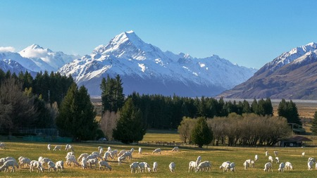 newly shorn sheep graze on glentanner station with new zealand's mt cook towering in the distance Foto de archivo