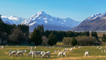 close up  of newly shorn sheep grazing on a farm with new zealand's mt cook in the distance Stok Fotoğraf - 117198628