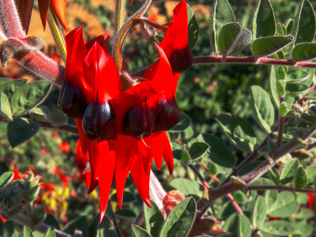 a close up shot of a bright red sturt's desert pea from central australia 写真素材