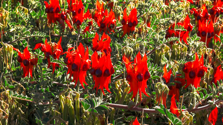 several blossoms of bright red start's desert pea at alice springs