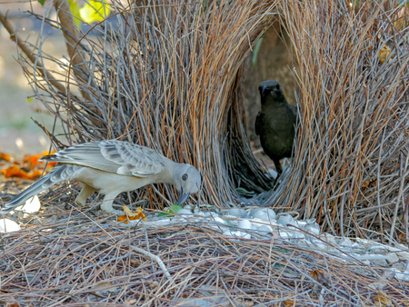 two young bowerbirds practice at a bower of twigs 스톡 콘텐츠