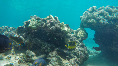 a variety of colourful reef fish such as goldring surgeonfish and raccoon butterflyfish at honolua bay