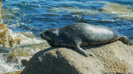 close up of a harbor seal in monterey bay