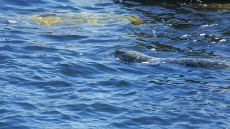 close up of a harbor seal swimming in monterey bay