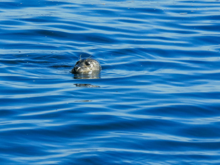 close up of a harbor seal surfacing for a breath in monterey bay Stock fotó