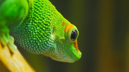 close up of a madagascar giant day gecko