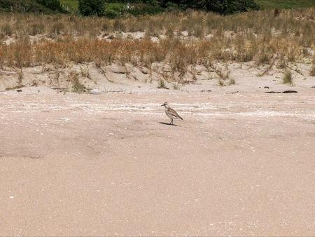 a new zealand dotterel feeding on a coromandel peninsula beach