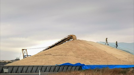 workers hurry to cover part of the wheat harvest with tarpaulins Stock Photo