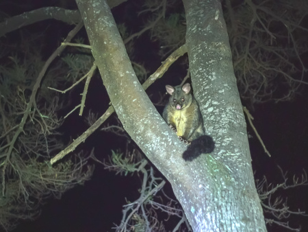 australian brush-tailed possum in a tree at tasmania