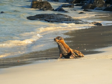 baby sea lion on a beach at isla santa fe in the galapagos
