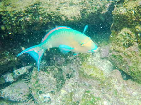 close up of a blue-chin parrotfish at isla bartolome in the galapagos
