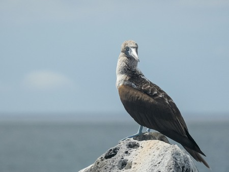 blue-footed booby on top of a rock in the galalagos islands