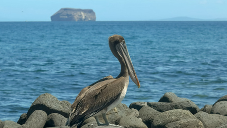 brown pelican on north seymour in the galapagos