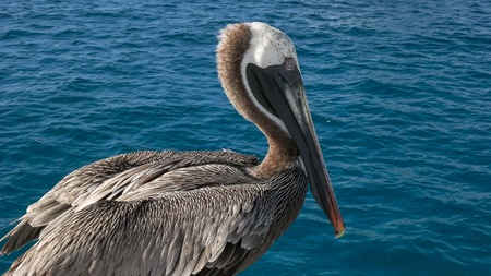 close up of a brown pelican near isla san cristobal in the galapagos