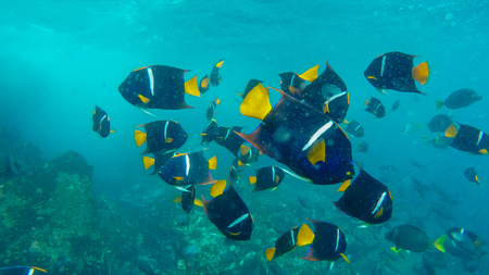 school of king angelfish at the devils crown in the galapagos