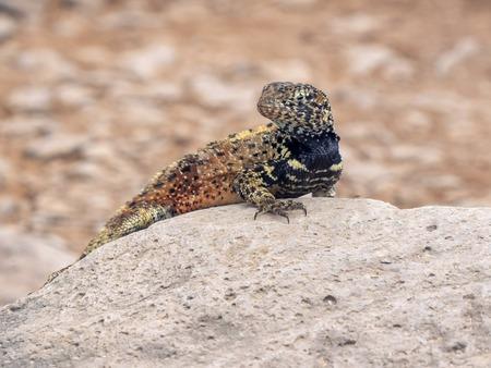 close shot of a lava lizard on isla espanola in the galapagos