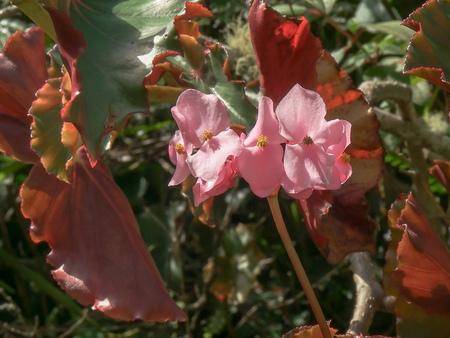wild begonia flower growing at machu picchu