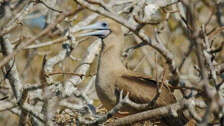 red-footed booby and chick on nest at isla genovesa in the galapagos Stock Photo