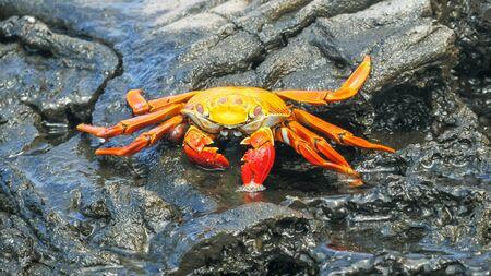 sally lightfoot crab on isla santiago in the galapagos