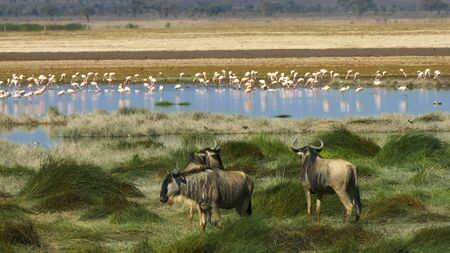 three wildebeest and a flock of flamingos at amboseli