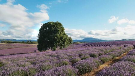 summer shot of a field of lavender flowers and an old oak tree in tasmania