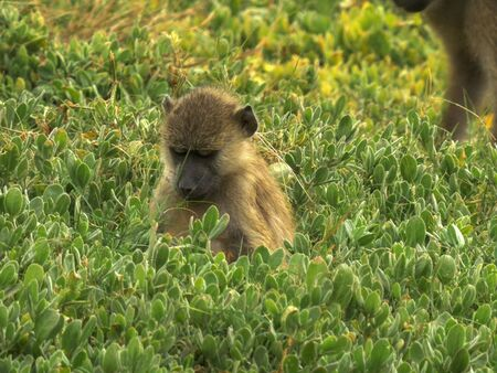 a young olive baboon feeds on leaves at amboseli national park Standard-Bild