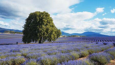 oak tree and rows of flowering lavender in north east tasmania