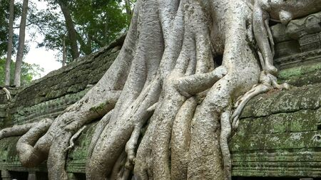 close up of tree roots at ta prohm temple, angkor wat