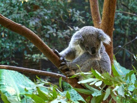 high angle shot of a koala in a tree at blackbutt reserve