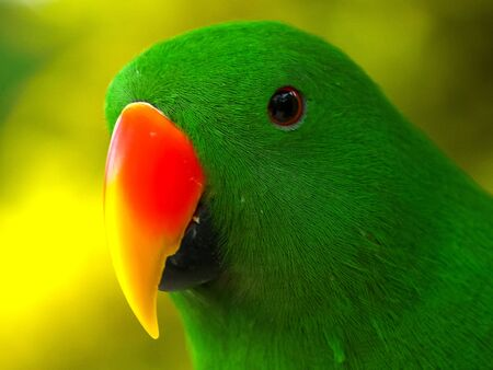extreme close up of a male eclectus parrot