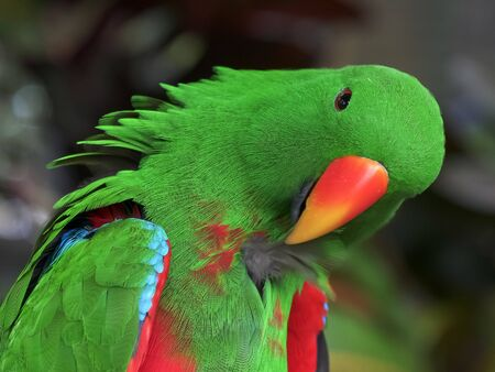 close up of a green male eclectus parrot preening its feathers Banco de Imagens