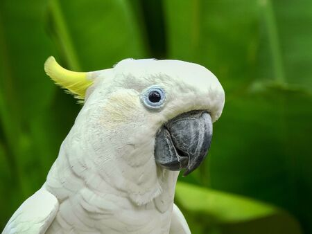 sulphur crested cockatoo at bali bird park 免版税图像