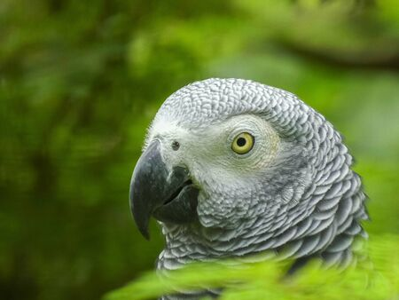 close up of the head of an african grey parrot