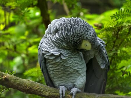 an african grey parrot preening its feathers Banco de Imagens