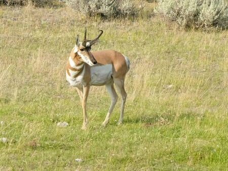 a pronghorn antelope walking in yellowstone park