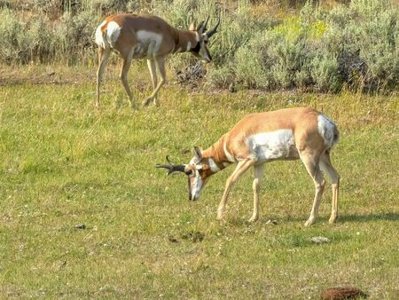 pronghorn antelope pawing the ground in yellowstone