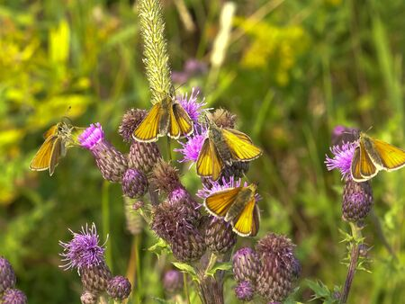 folded-winged skipper butterflies feeding on a thistle at yellowstone Stock Photo