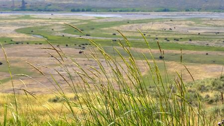 shallow depth of field shot of grass and bison in the lamar valley, yellowstone