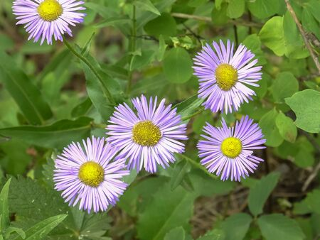 close up of fleabane flowers at trout lake in yellowstone