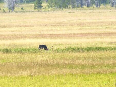 long shot of a dark colored wolf eating a dead elk in yellowstone Фото со стока