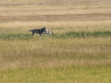 a grey wolf snapping at its companion in yellowstone