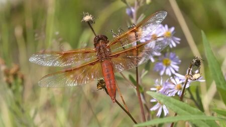 flame skimmer dragonfly in yellowstone national park