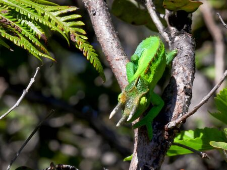 wide shot of a jacksons chameleon in a tree facing down