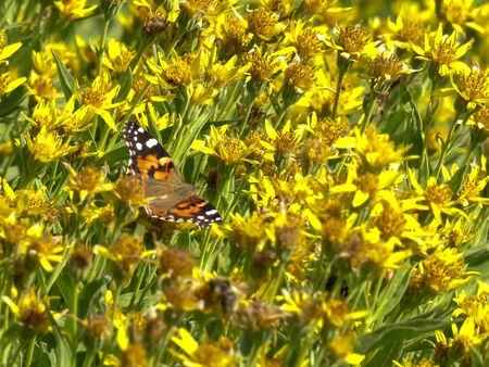 painted lady butterfly on yellow flowers at mt washburn in yellowstone 스톡 콘텐츠